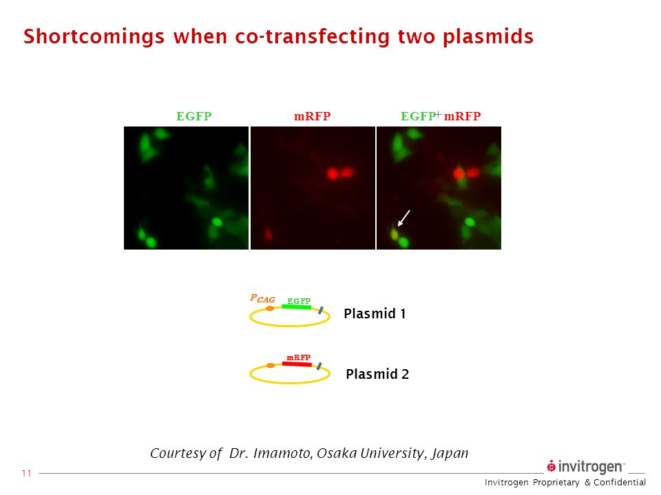 Shortcomings when co-transfecting two plasmids