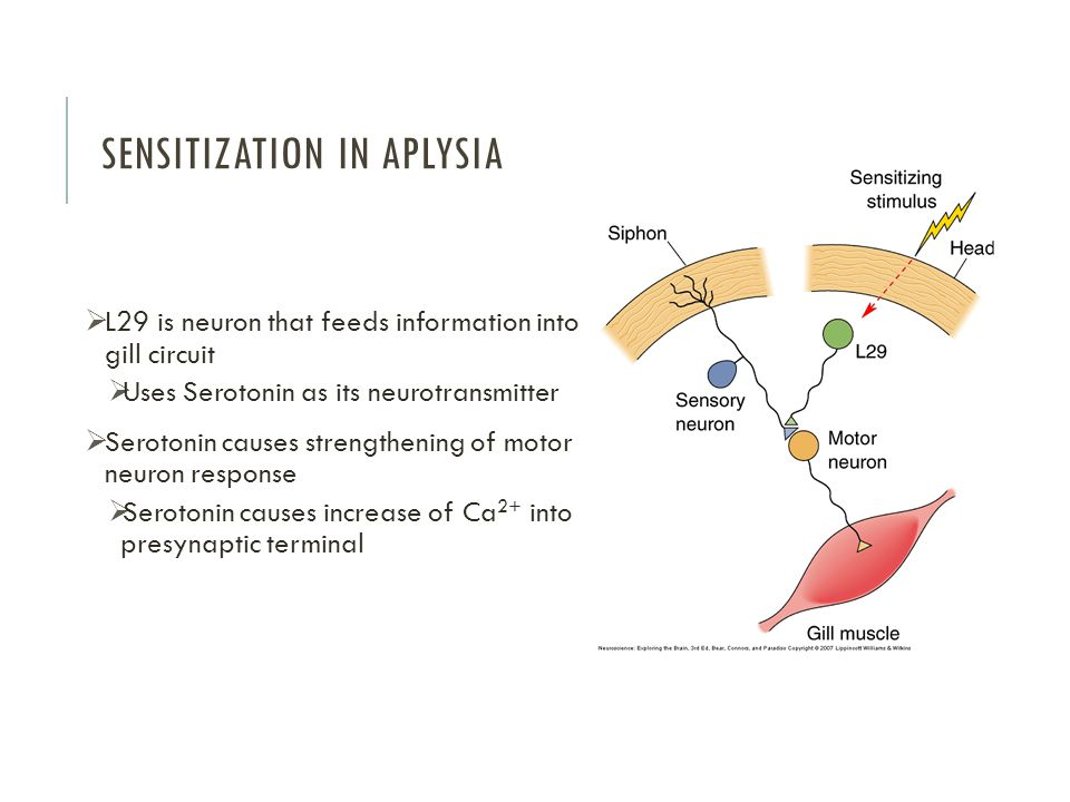 Sensitization in Aplysia