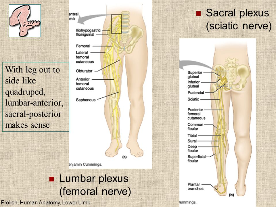 Lower Limb Skeleton Homologous With Upper Limb Ppt Video Online