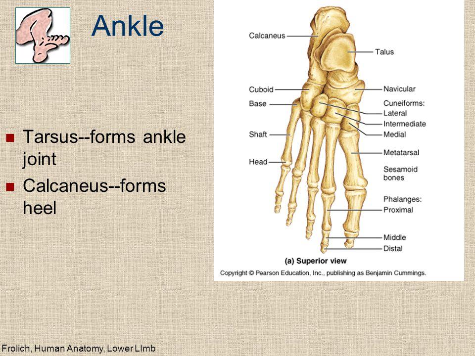 Lower Limb Skeleton (homologous with upper limb) - ppt video online ...