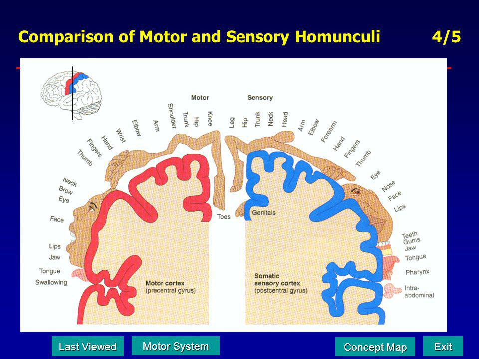 Comparison of Motor and Sensory Homunculi 4/5