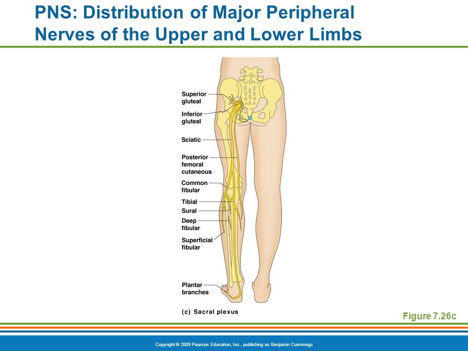 PNS: Distribution of Major Peripheral Nerves of the Upper and Lower Limbs