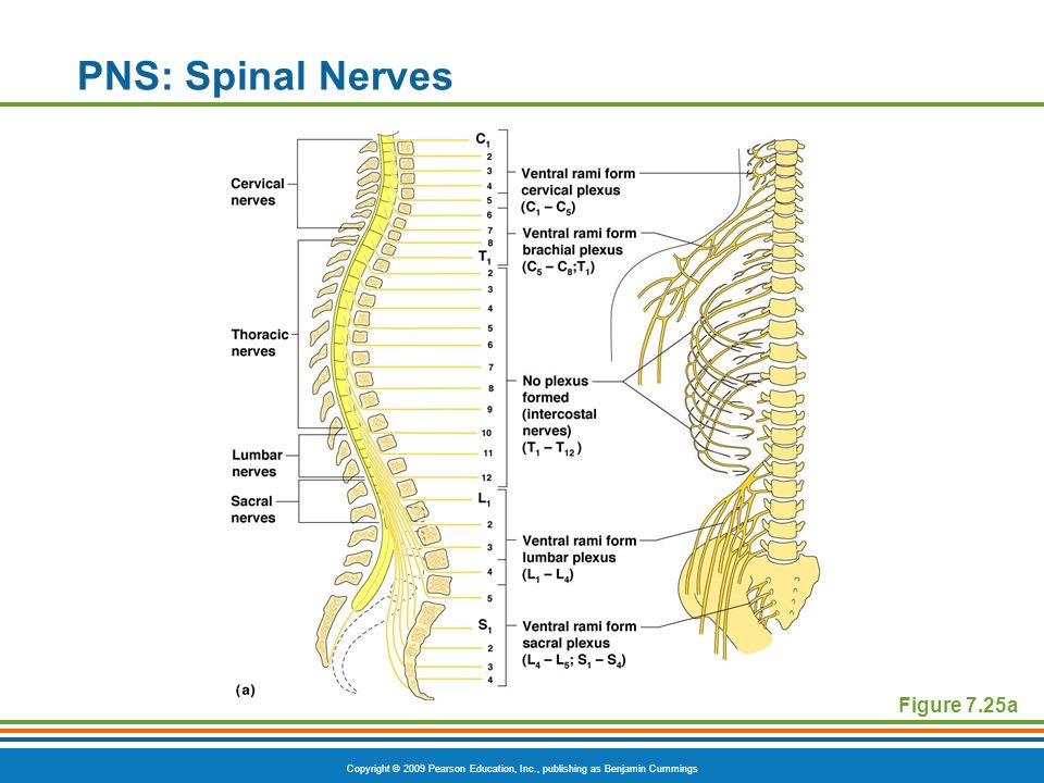 PNS: Spinal Nerves Figure 7.25a