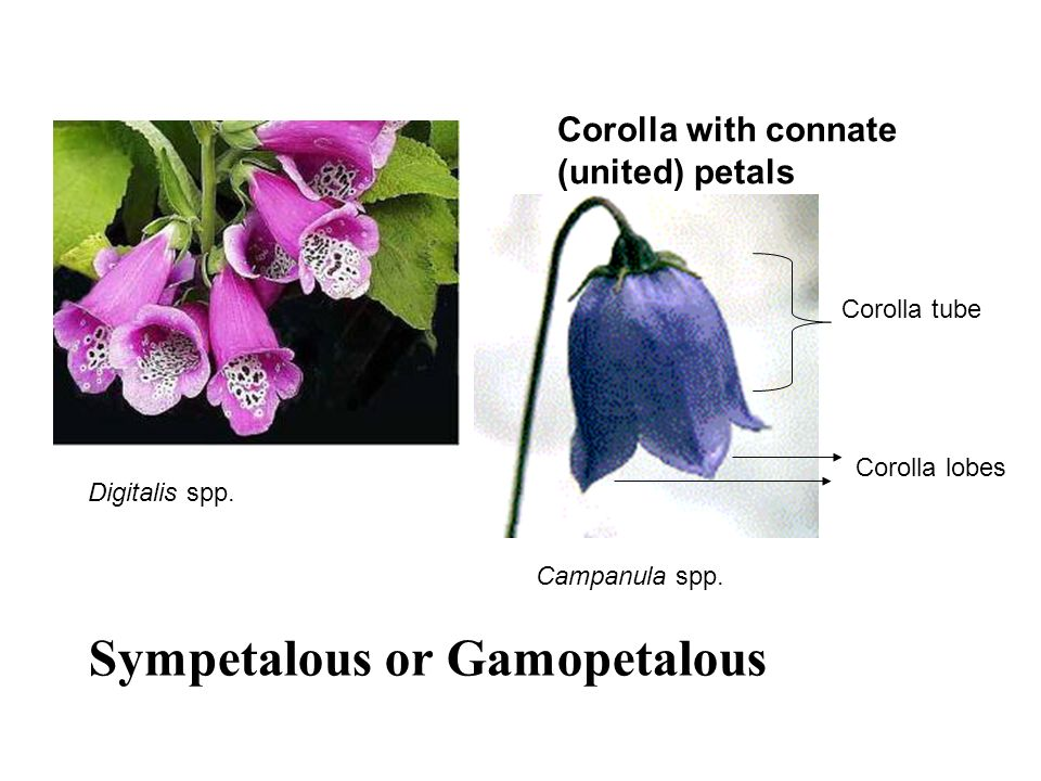 Sympetalous or Gamopetalous