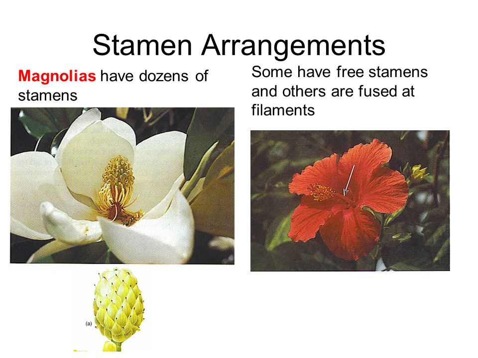 Stamen Arrangements Magnolias have dozens of stamens