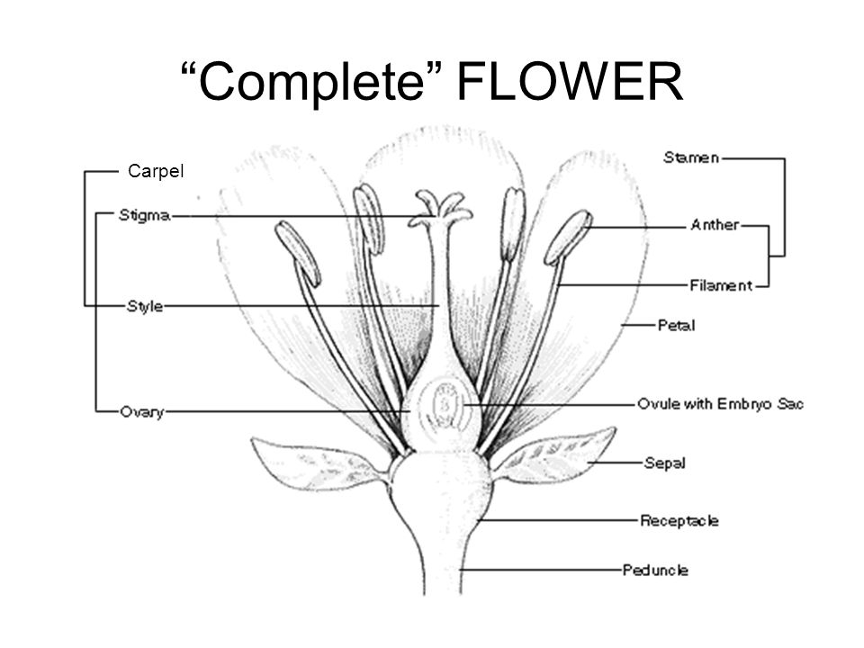 Complete FLOWER Carpel