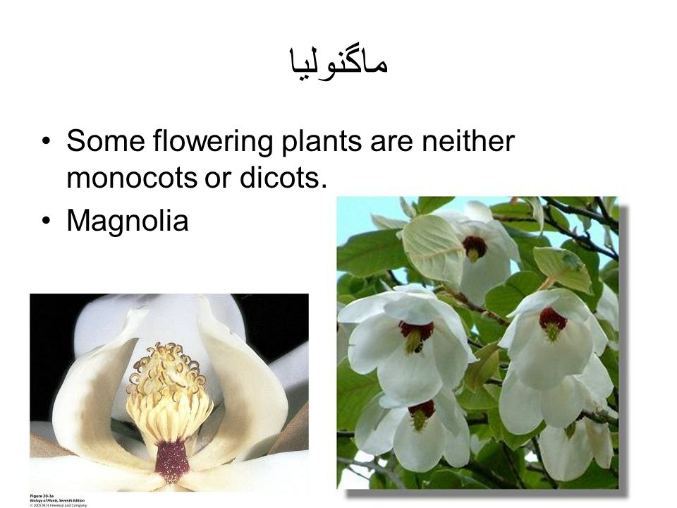 ماگنولیا Some flowering plants are neither monocots or dicots.