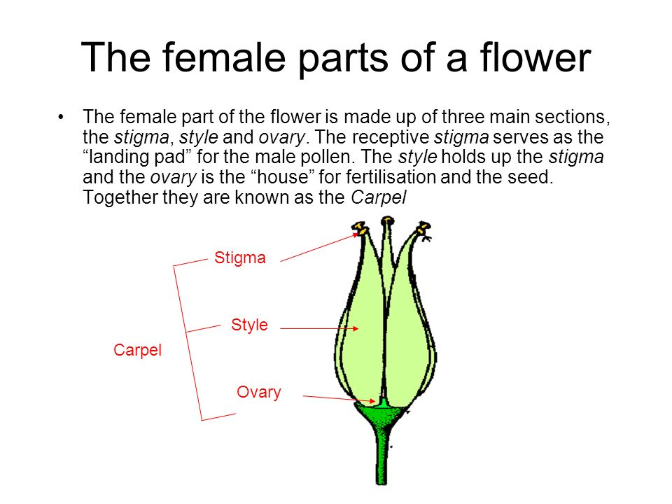 The female parts of a flower