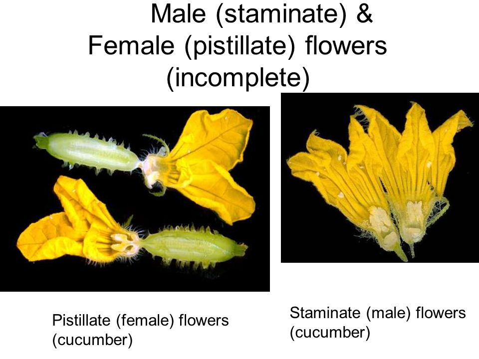 Male (staminate) & Female (pistillate) flowers (incomplete)