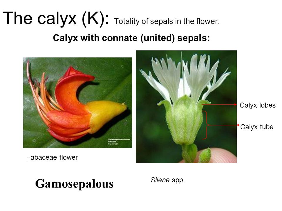 The calyx (K): Totality of sepals in the flower.