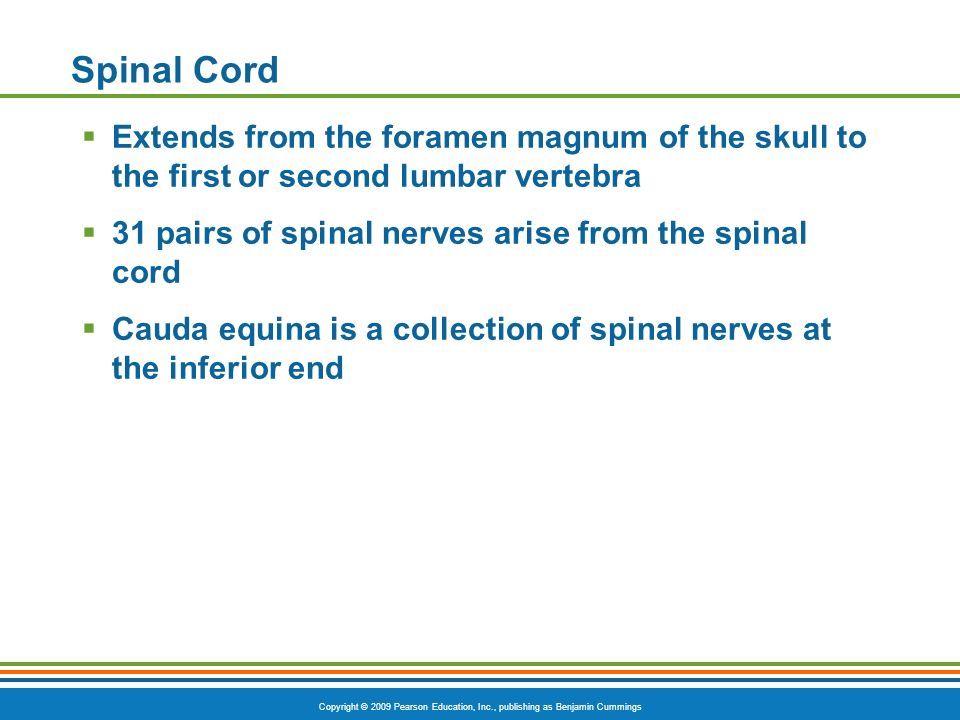 Spinal Cord Extends from the foramen magnum of the skull to the first or second lumbar vertebra.