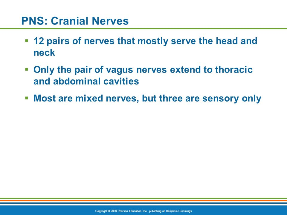 PNS: Cranial Nerves 12 pairs of nerves that mostly serve the head and neck. Only the pair of vagus nerves extend to thoracic and abdominal cavities.