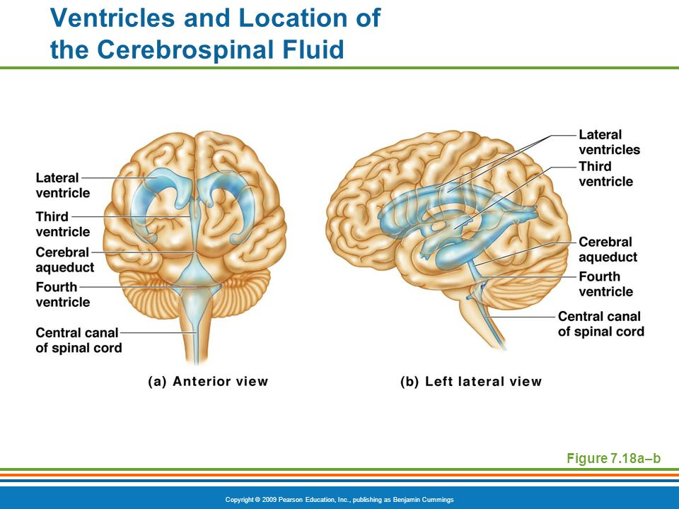 Ventricles and Location of the Cerebrospinal Fluid