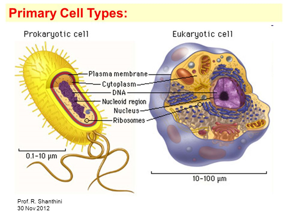 Primary Cell Types: Prof. R.