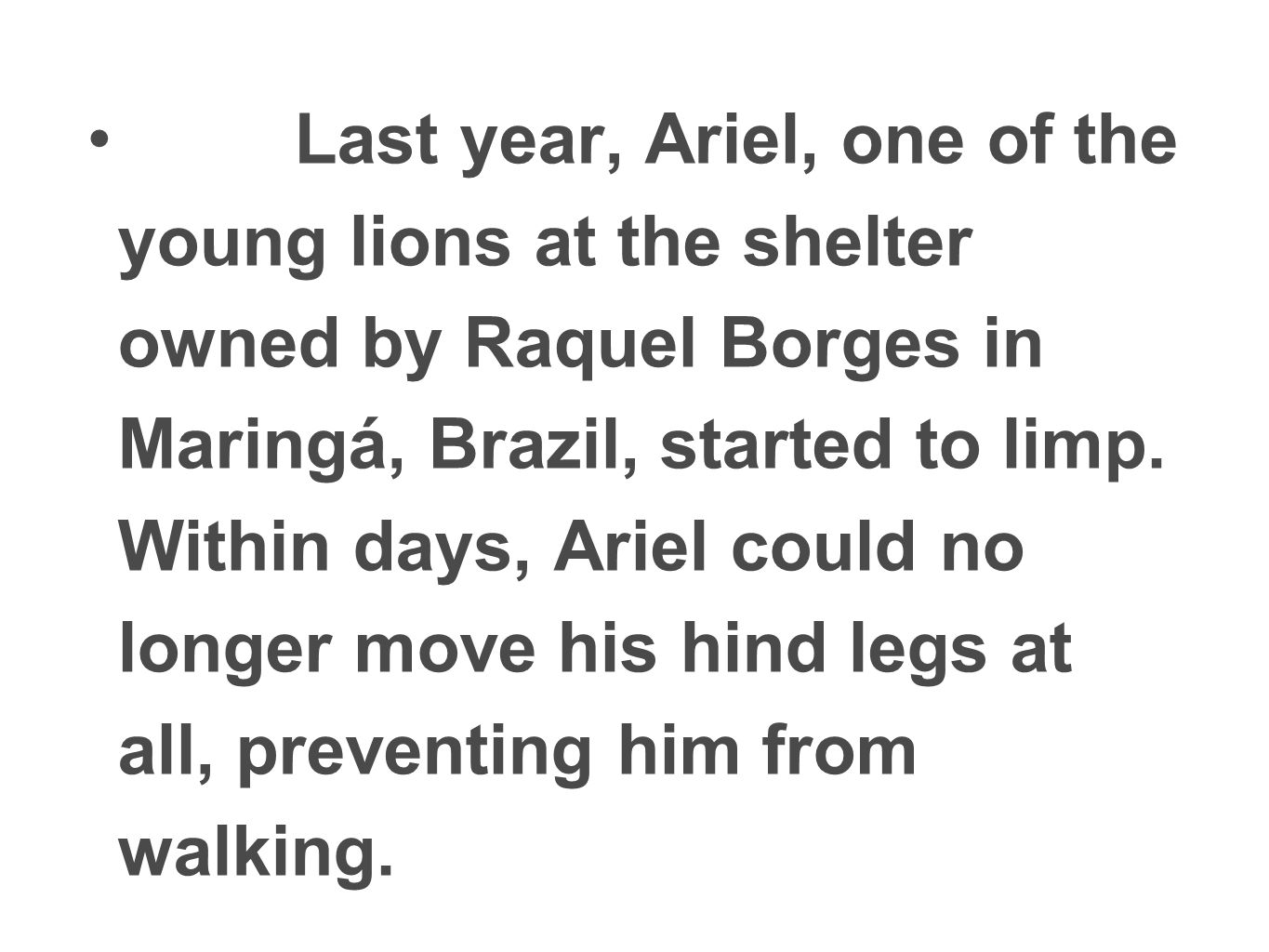 Last year, Ariel, one of the young lions at the shelter owned by Raquel Borges in Maringá, Brazil, started to limp.