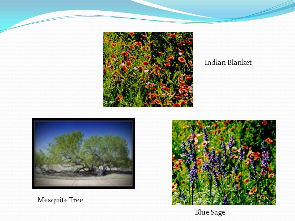 Indian Blanket Mesquite Tree Blue Sage