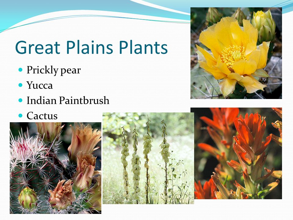 Great Plains Plants Prickly pear Yucca Indian Paintbrush Cactus