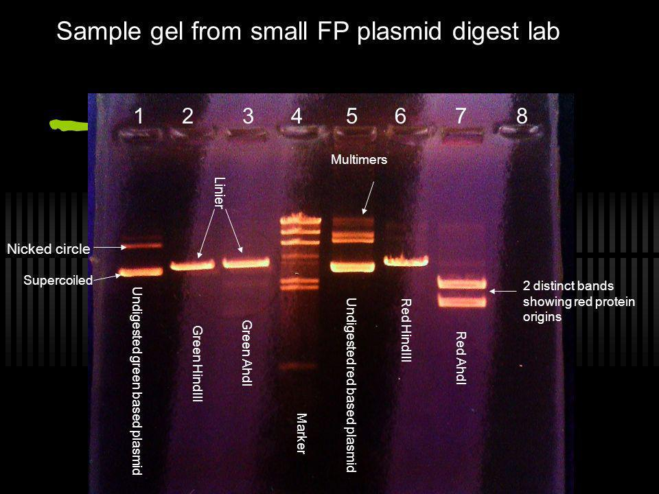 Sample gel from small FP plasmid digest lab