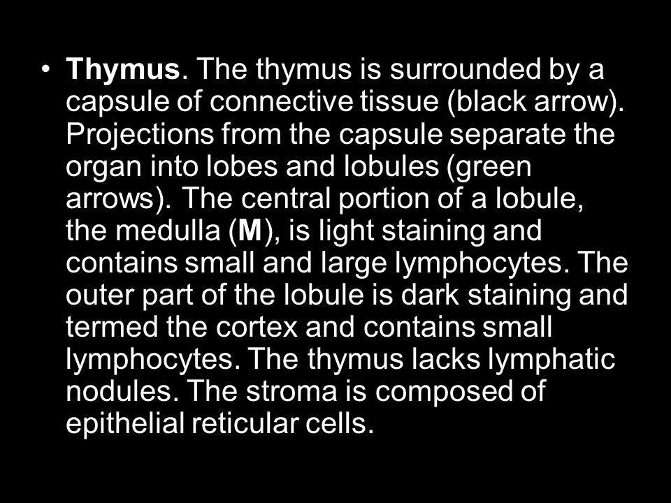 Thymus. The thymus is surrounded by a capsule of connective tissue (black arrow).