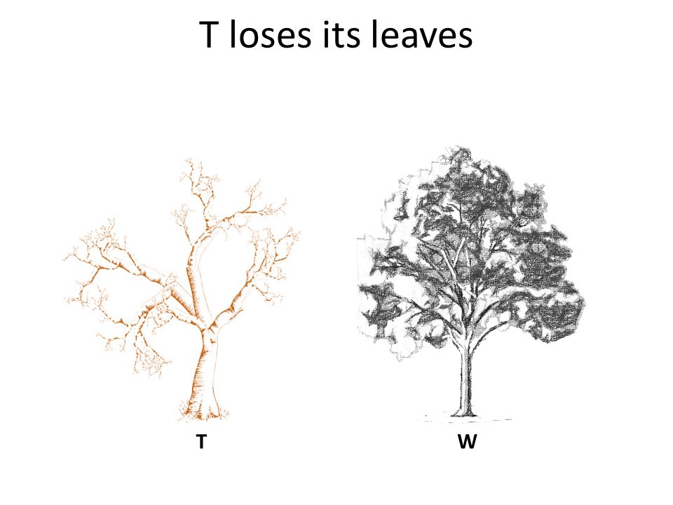 T loses its leaves W T