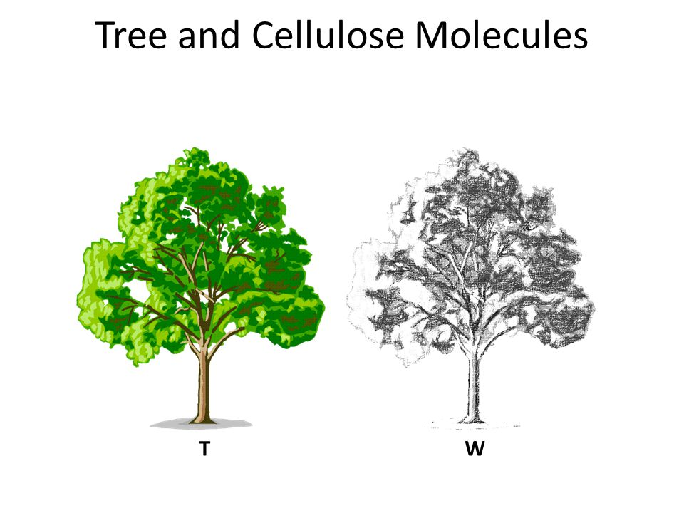 Tree and Cellulose Molecules