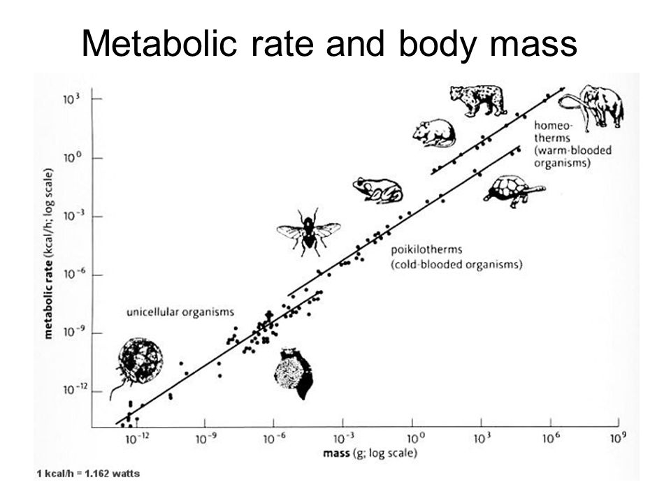 Metabolic rate and body mass