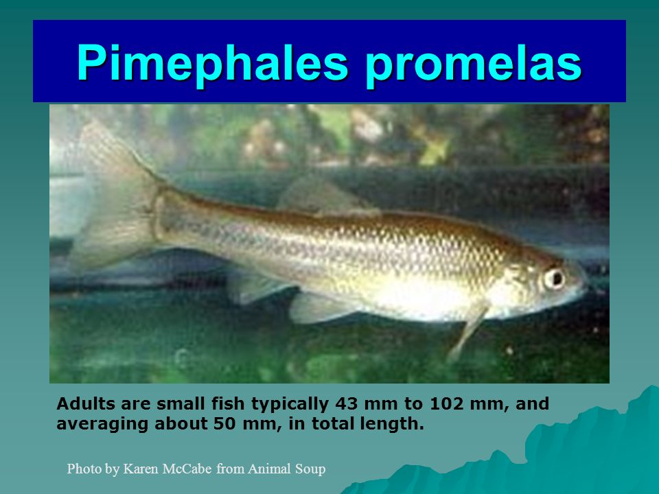 Pimephales promelas Adults are small fish typically 43 mm to 102 mm, and aceraging about 50 mm, in total length.