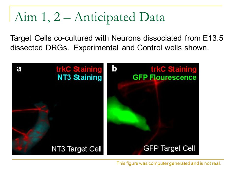 Aim 1, 2 – Anticipated Data Target Cells co-cultured with Neurons dissociated from E13.5 dissected DRGs. Experimental and Control wells shown.