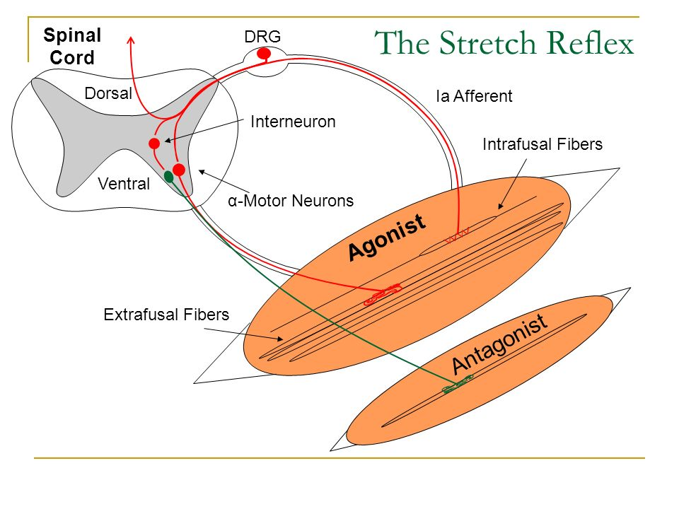 The Stretch Reflex Agonist Antagonist Spinal Cord DRG Dorsal