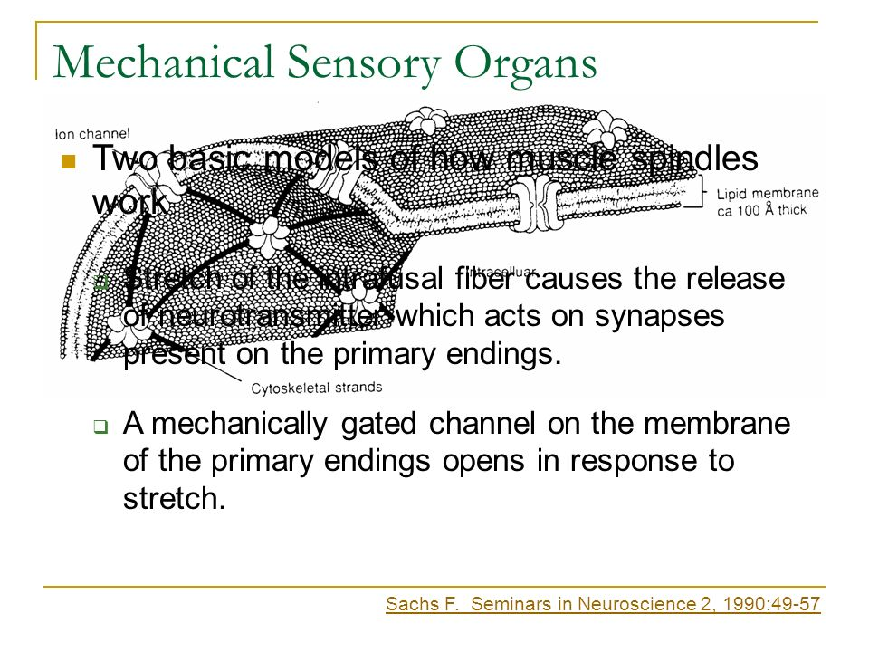 Mechanical Sensory Organs