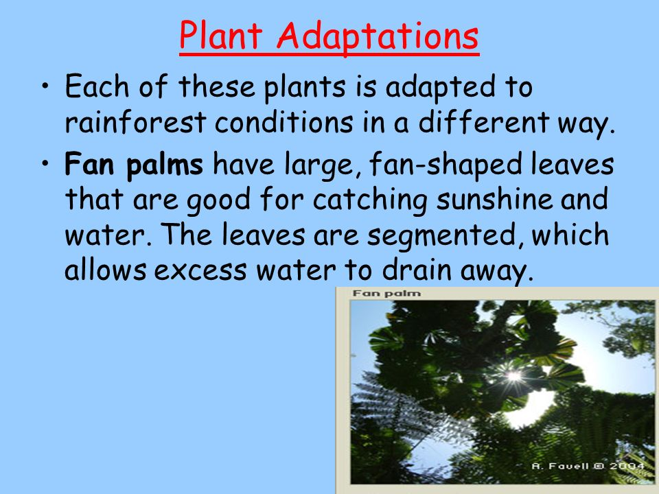 Plant Adaptations Each of these plants is adapted to rainforest conditions in a different way.