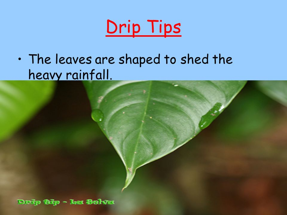 Drip Tips The leaves are shaped to shed the heavy rainfall.