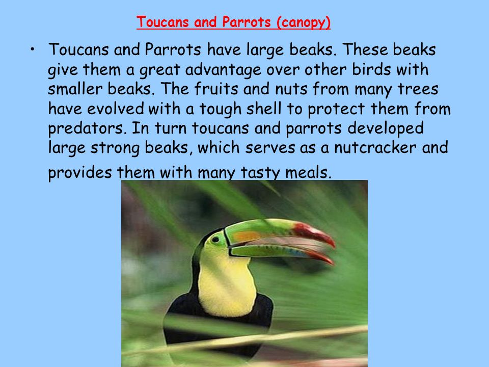 Toucans and Parrots (canopy)