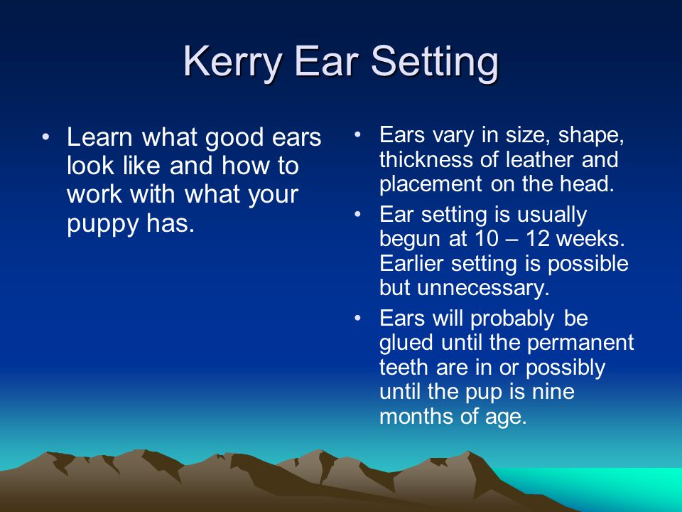 Kerry Ear Setting Learn what good ears look like and how to work with what your puppy has.