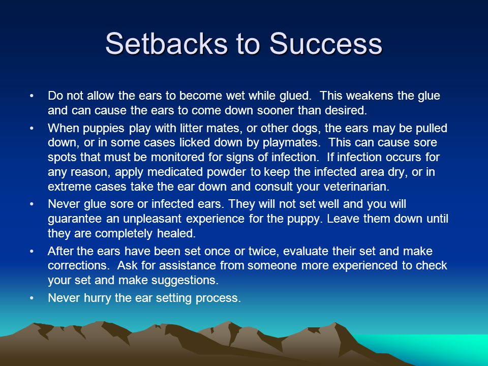 Setbacks to Success Do not allow the ears to become wet while glued. This weakens the glue and can cause the ears to come down sooner than desired.