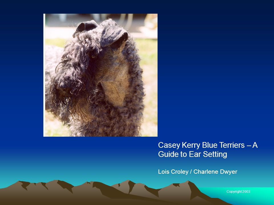 Casey Kerry Blue Terriers – A Guide to Ear Setting