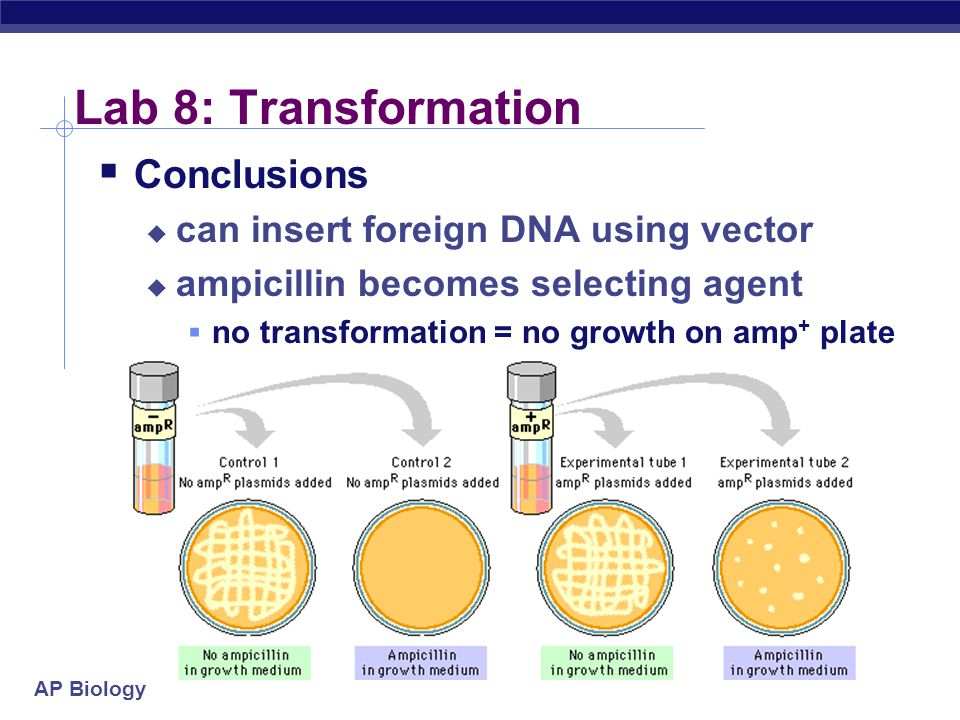 Lab 8: Transformation Conclusions can insert foreign DNA using vector