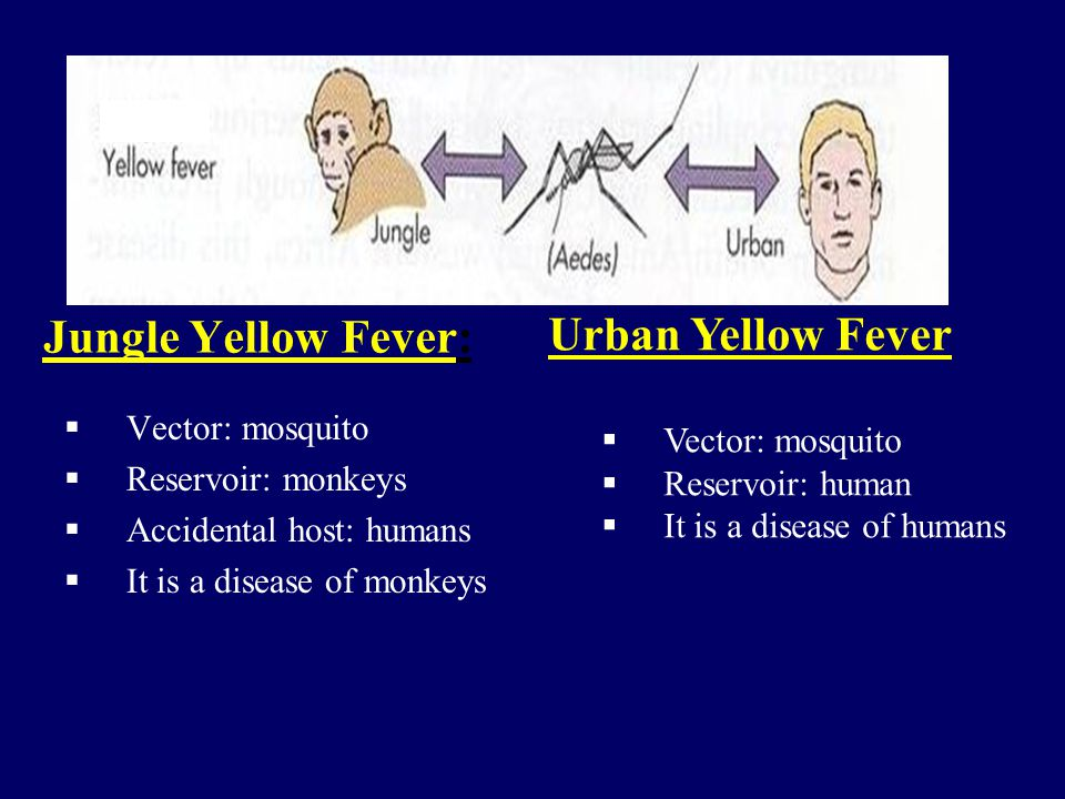 Urban Yellow Fever Jungle Yellow Fever: Vector: mosquito