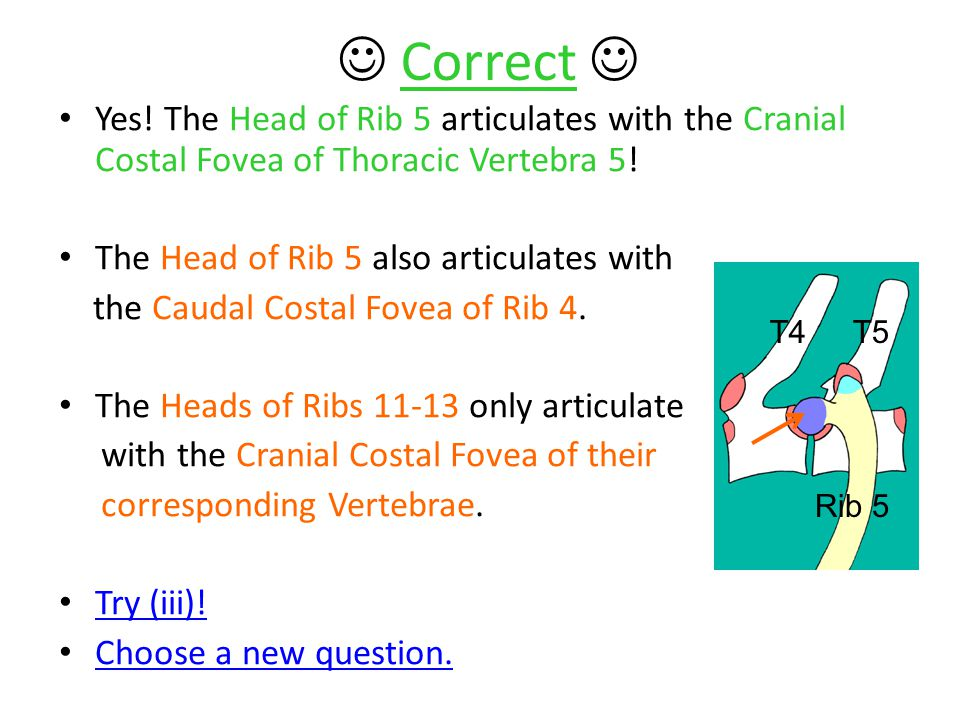  Correct  Yes! The Head of Rib 5 articulates with the Cranial Costal Fovea of Thoracic Vertebra 5!
