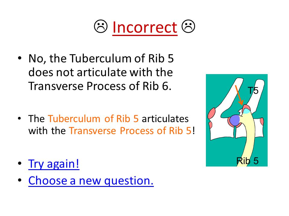  Incorrect  No, the Tuberculum of Rib 5 does not articulate with the Transverse Process of Rib 6.