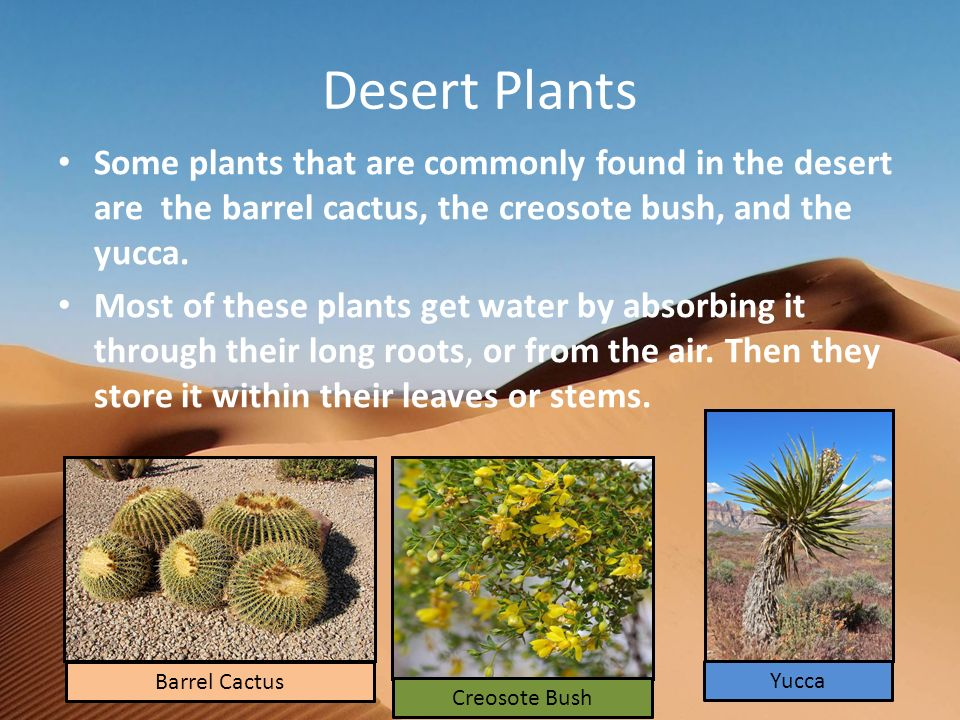 Desert Plants Some plants that are commonly found in the desert are the barrel cactus, the creosote bush, and the yucca.