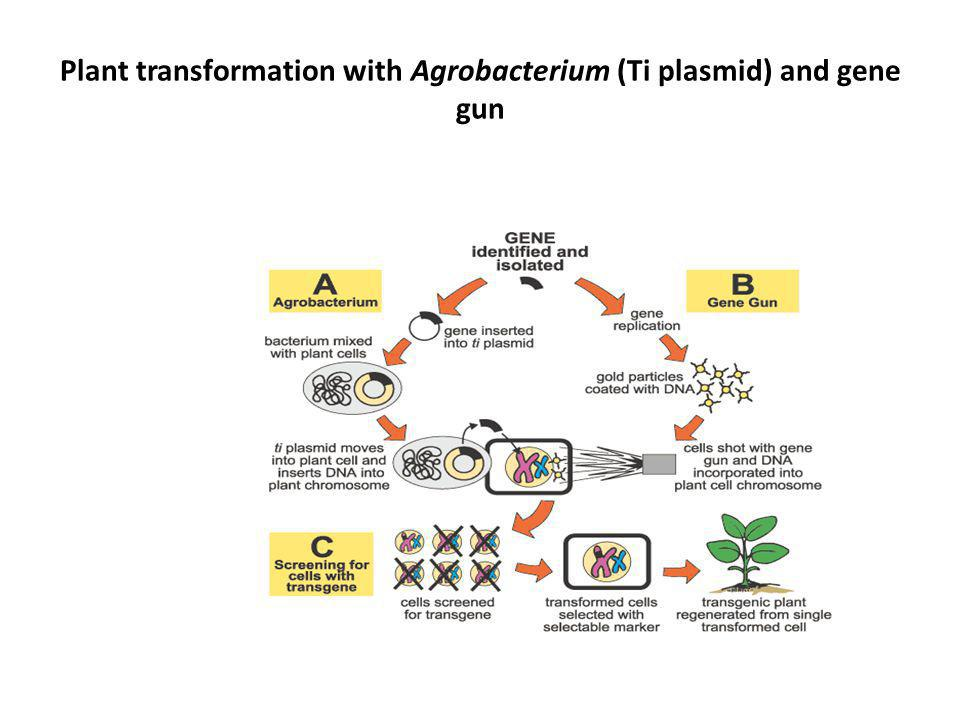 Plant transformation with Agrobacterium (Ti plasmid) and gene gun