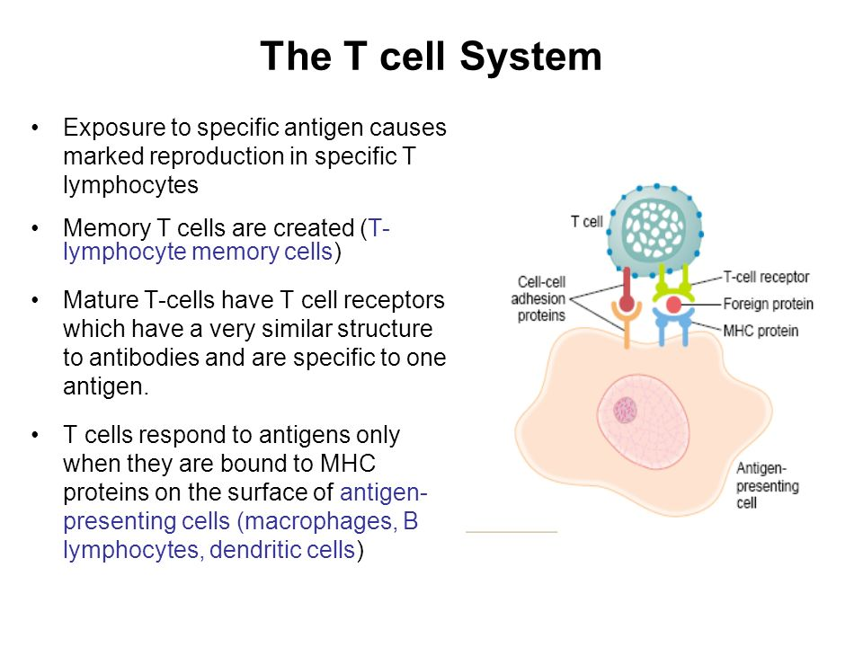 The T cell System Exposure to specific antigen causes marked reproduction in specific T lymphocytes.