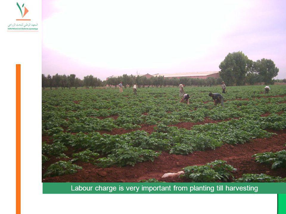Labour charge is very important from planting till harvesting