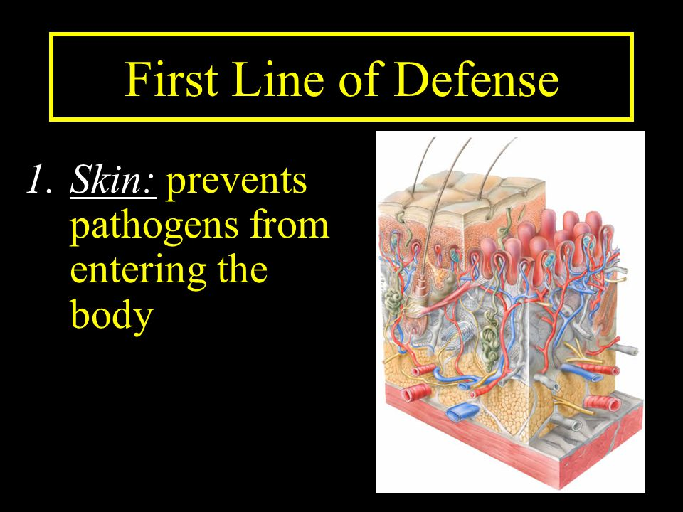 First Line of Defense Skin: prevents pathogens from entering the body