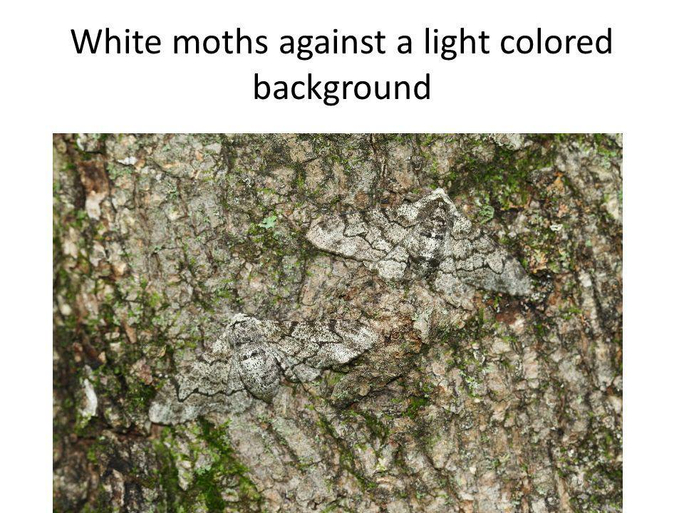 White moths against a light colored background