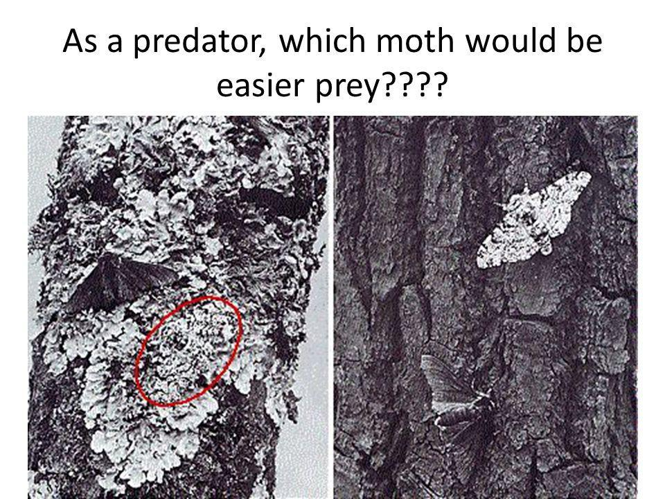 As a predator, which moth would be easier prey