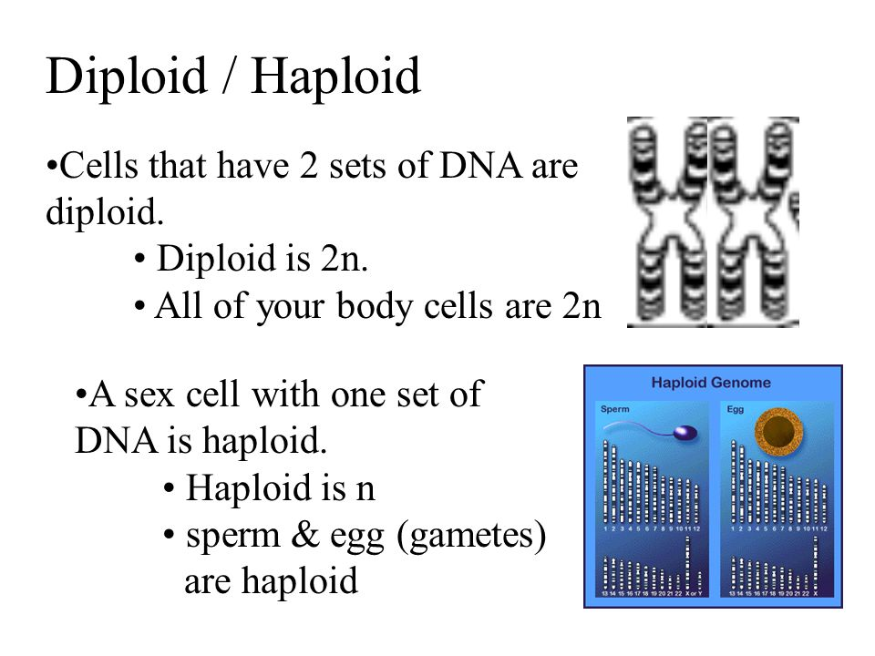 Diploid / Haploid Cells that have 2 sets of DNA are diploid.