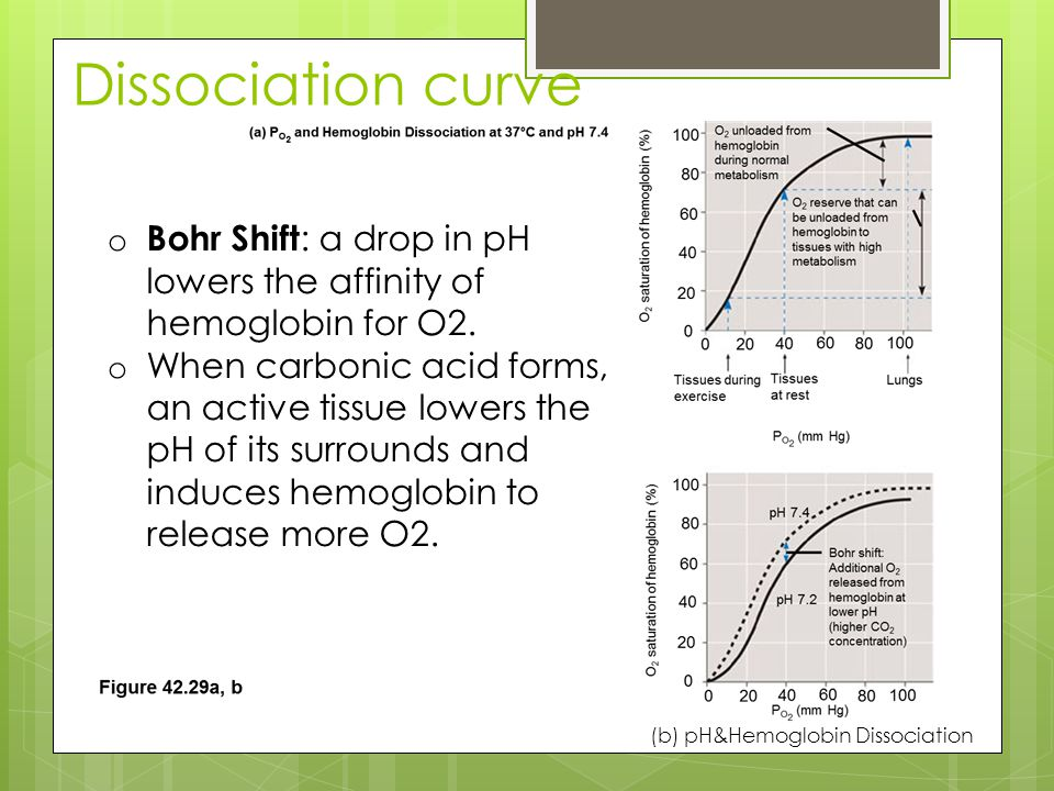 Dissociation curve Bohr Shift: a drop in pH lowers the affinity of hemoglobin for O2.