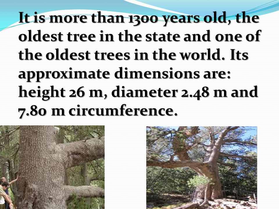 It is more than 1300 years old, the oldest tree in the state and one of the oldest trees in the world.